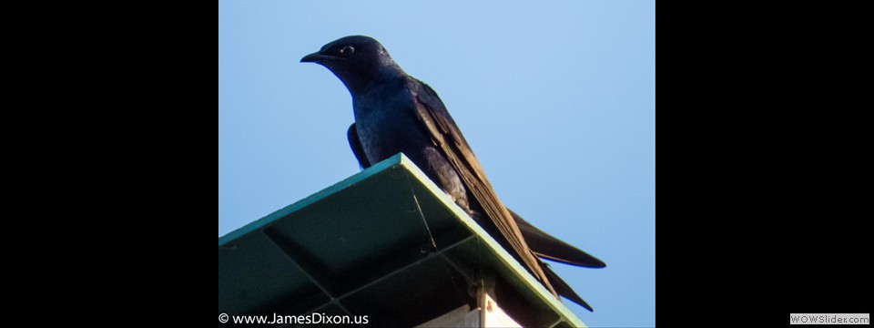 Purple Martin by Jim Dixon