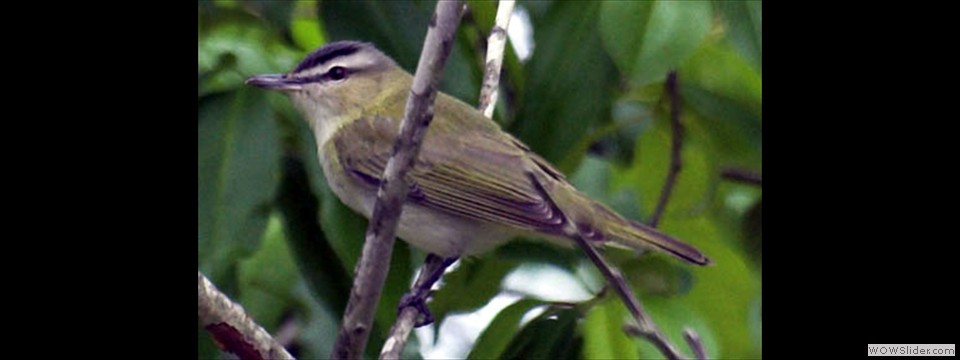 Red-eyed Vireo by Ben Meadors