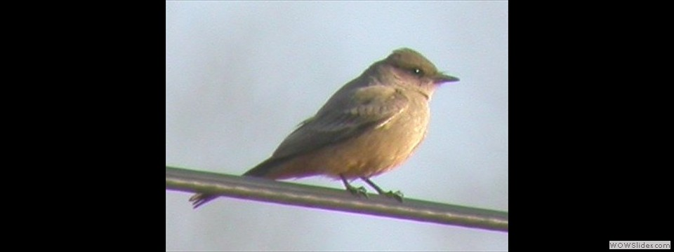 Say's Phoebe by Joe Neal