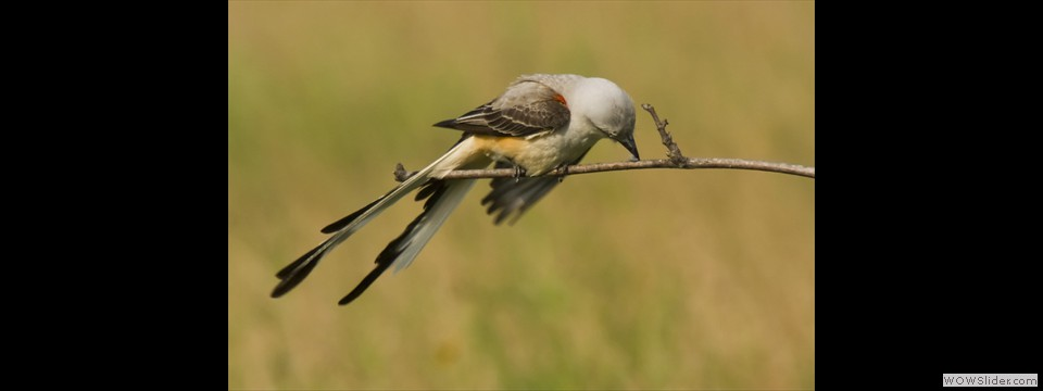 Scissor-tail Flycatcher by Jim Dixon