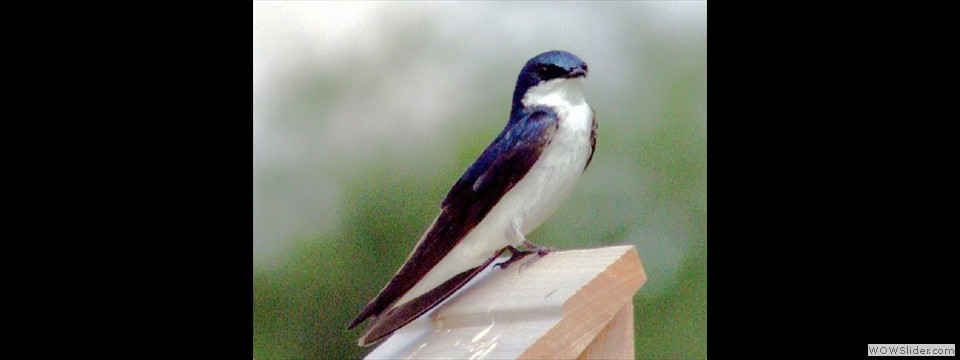 Tree Swallow by Dennis Hodges