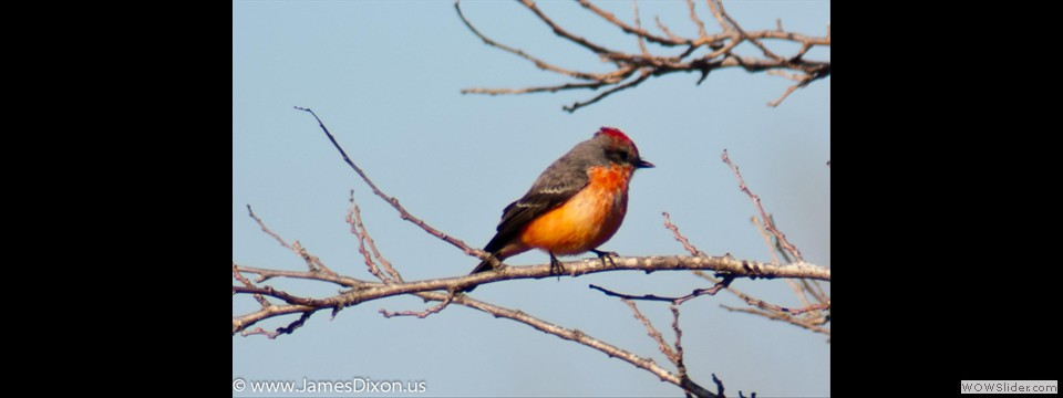 Vermillion Flycatcher by Jim Dixon