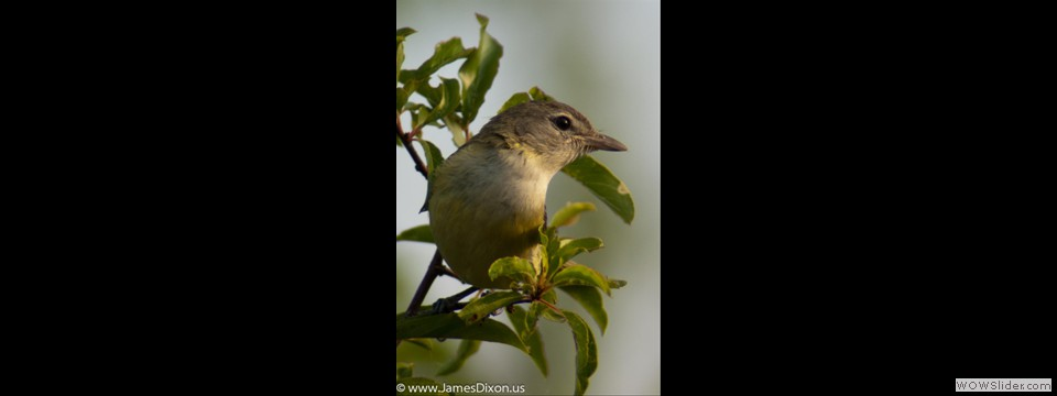 Warbling Vireo by Jim Dixon