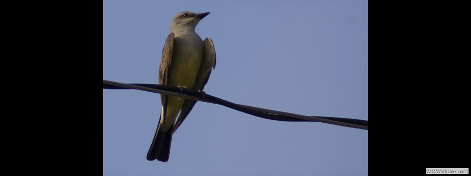 Western Kingbird by Jim Dixon