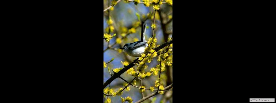Blue-gray Gnatcatcher - Robert Herron