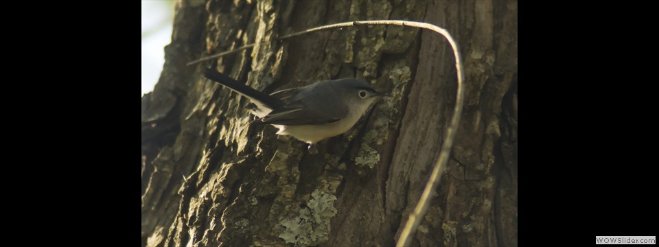 Blue-gray Gnatcatcher by Jim Dixon