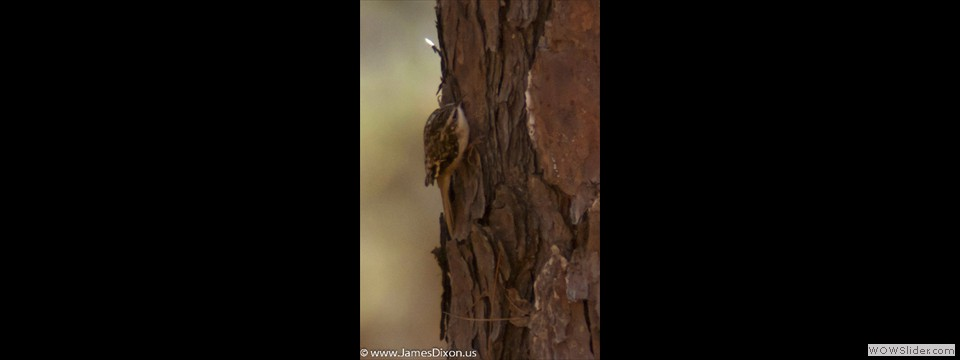 Brown Creeper by Jim Dixon