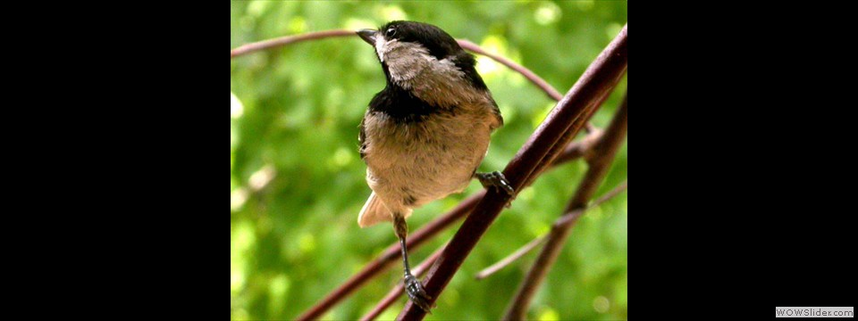 Carolina Chickadee by Lyndal York