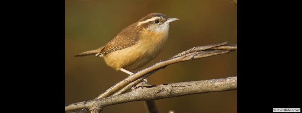 Carolina Wren by Jim Dixon