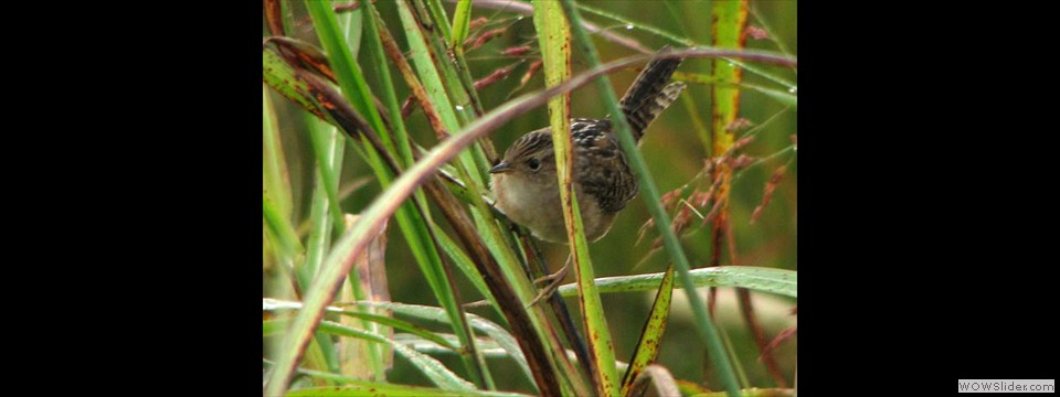Sedge Wren by Jim Dixon