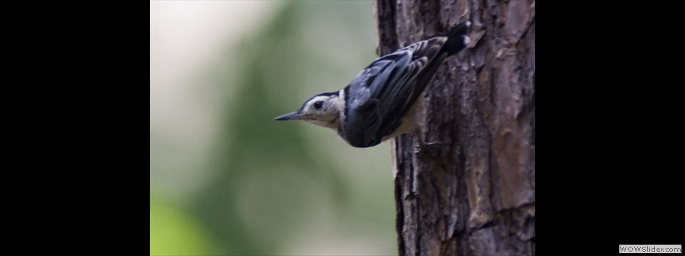 White-breasted Nuthatch by Jim Dixon