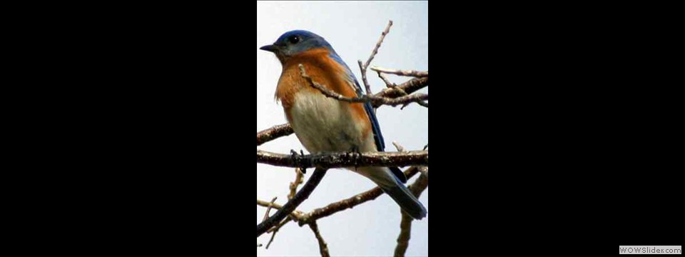 Bluebird, Eastern by Robert Herron