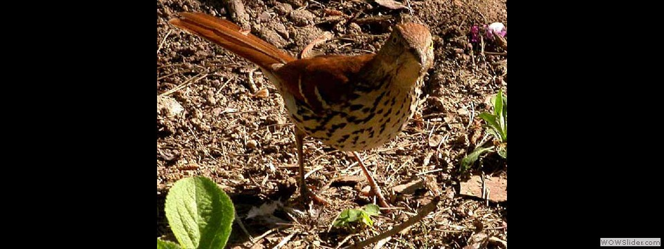 Brown Thrasher by Lyndal York