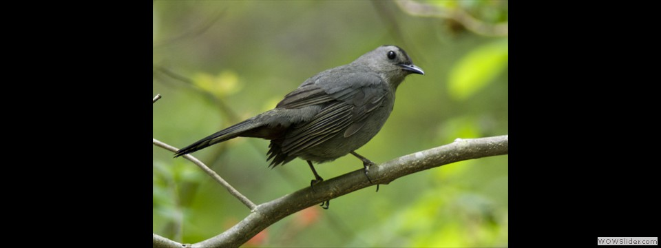 Gray Catbird by Jim Dixon