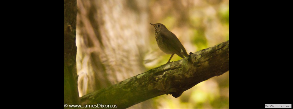 Gray-cheeked Thrush by Jim Dixon