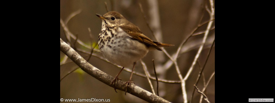 Hermit Thrush by Jim Dixon