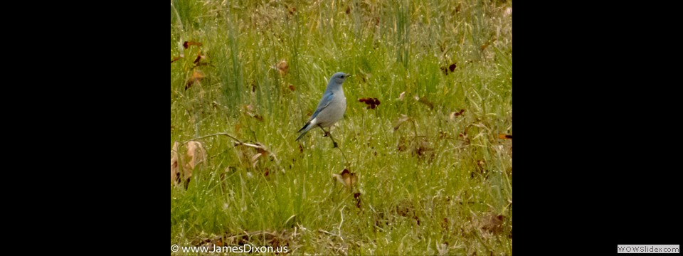 Mountain Bluebird by Jim Dixon