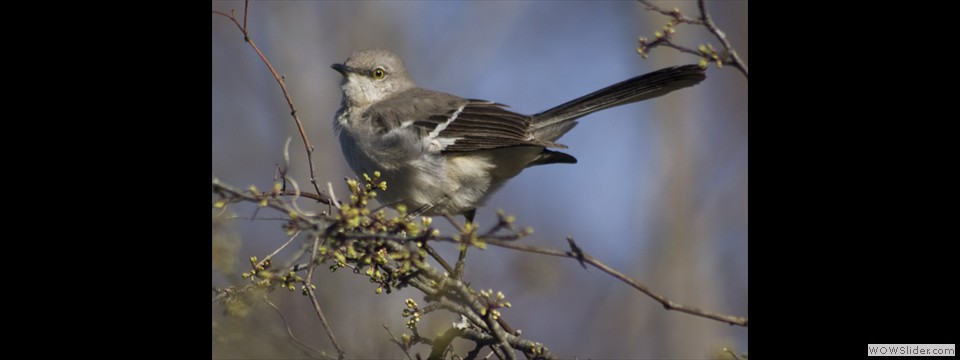 Northern Mockingbird by Jim Dixon