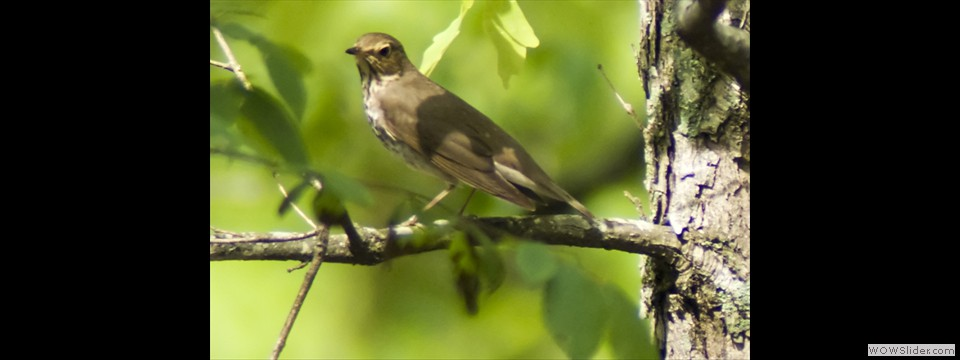 Swainson's Thrush by Jim Dixon