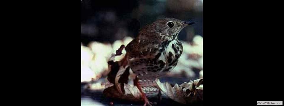 Ovenbird by Lyndal York