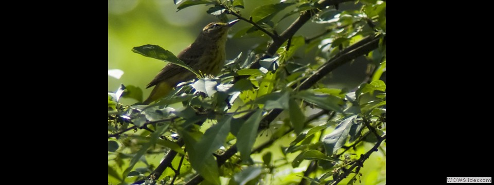 Palm Warbler by Jim Dixon