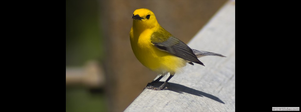 Prothonotary Warbler by Jim Dixon
