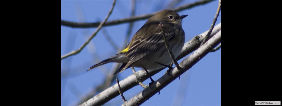 Yellow-rumped Warbler by Jim Dixon