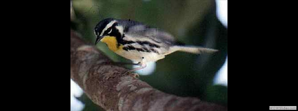 Yellow-throated Warbler by Lyndal York