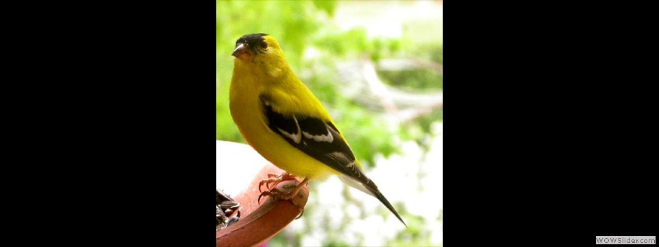 American Goldfinch by Lyndal York