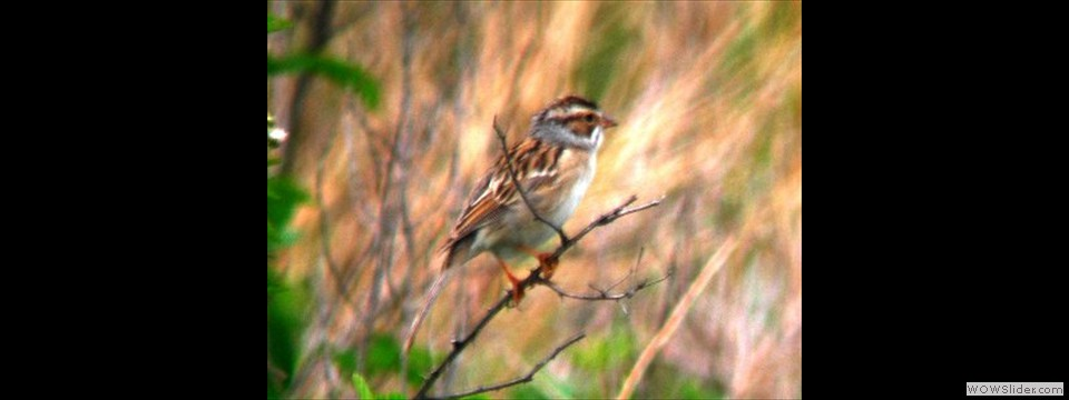 Clay Colored Sparrow by Kenny Nichols