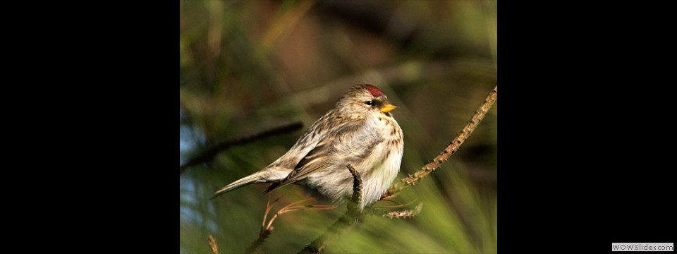 Common Redpoll by Charles Mills