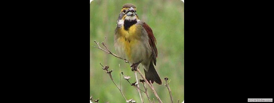 Dickcissel by Robert Herron
