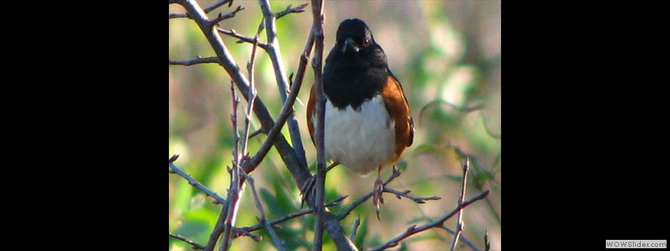 Eastern Towhee by Jim Dixon