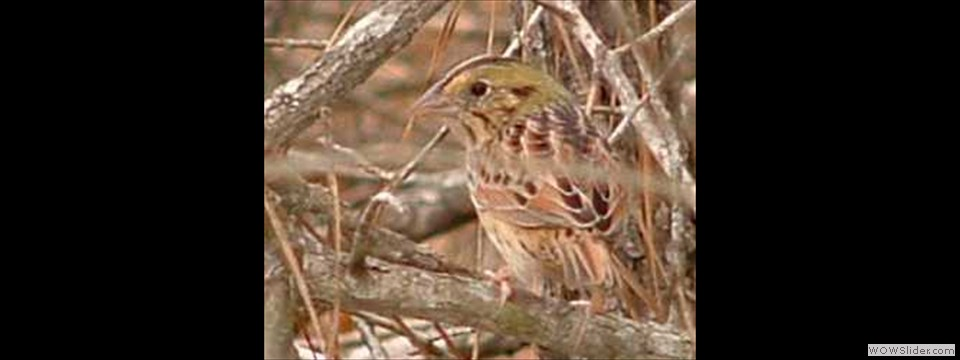 Henslow's Sparrow by Bill Holimon