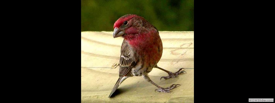 House Finch by Lyndal York