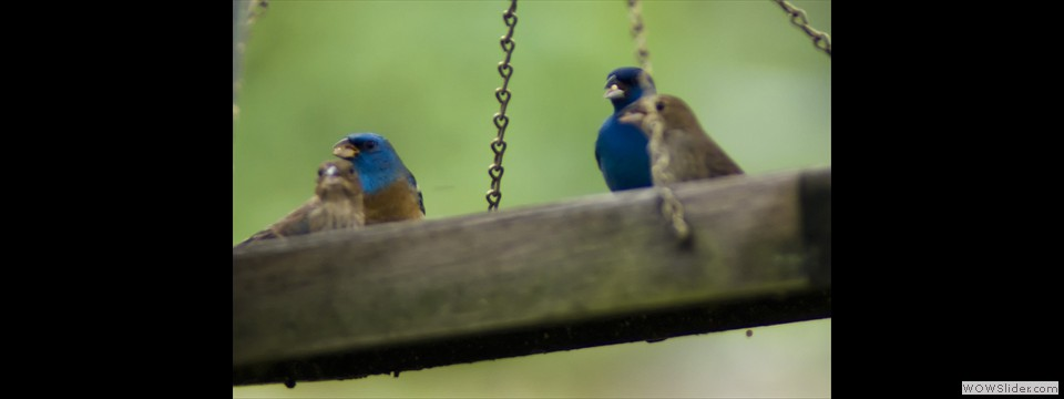 Lazuli and Indigo Bunting by Jim Dixon