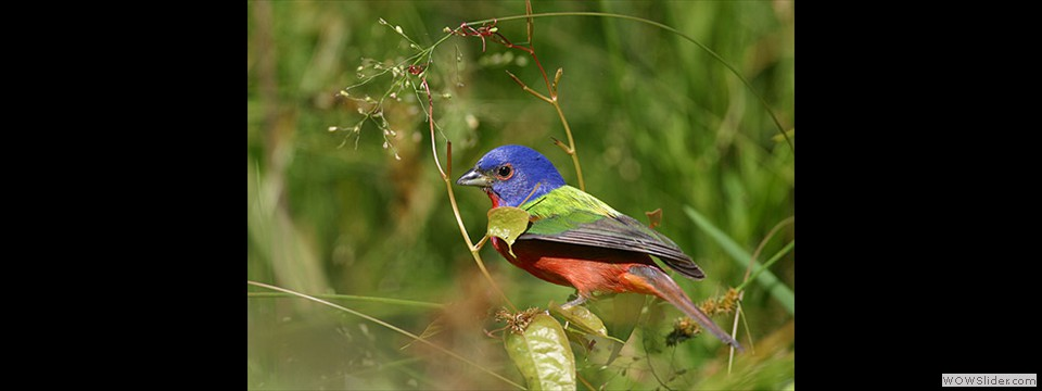 Painted Bunting by Charles Mills