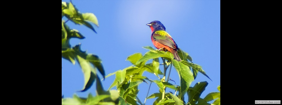Painted Bunting by Jim Dixon