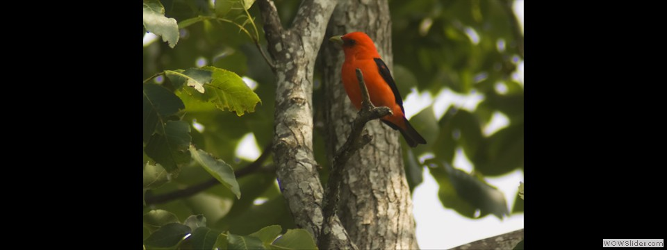 Scarlet Tanager by Jim Dixon