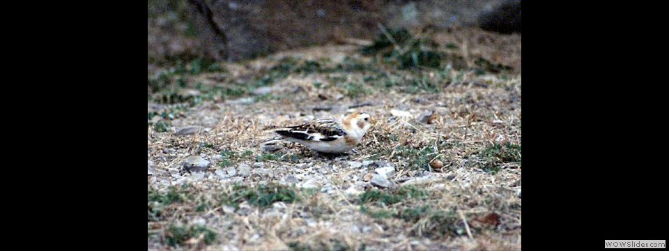 Snow Bunting by Don Simons