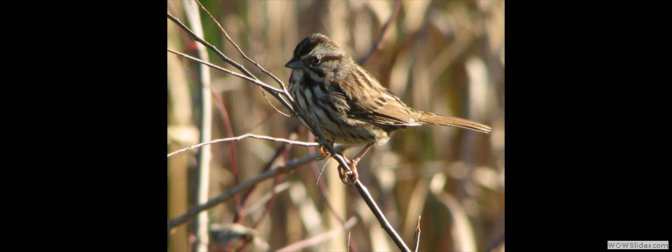 Song Sparrow by Jim Dixon