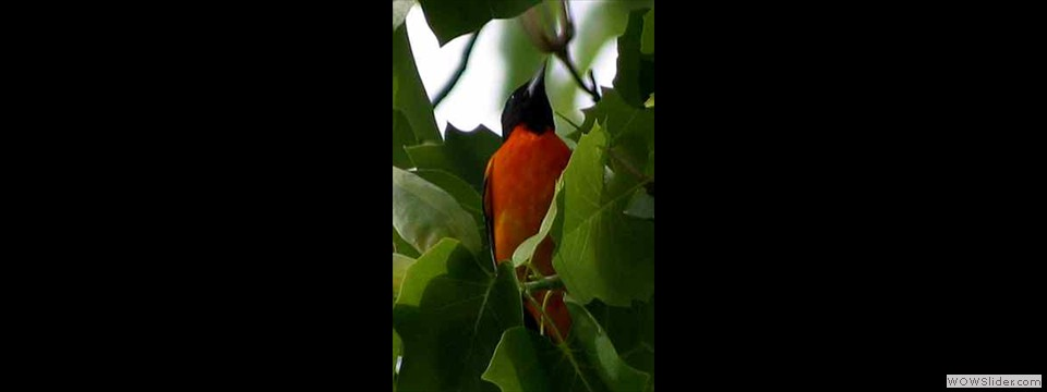 Baltimore Oriole by Robert Herron