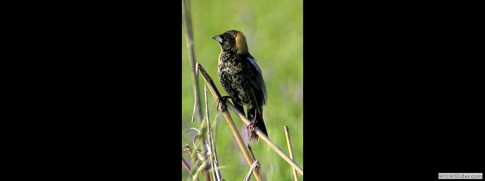 Bobolink by Robert Herron