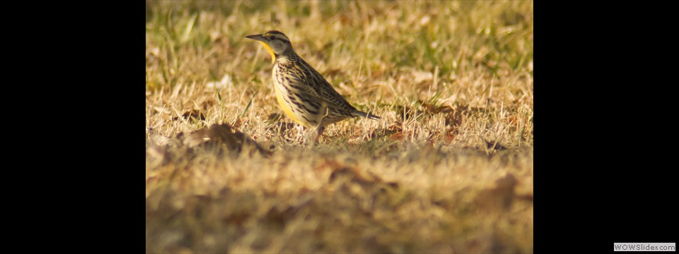 Eastern Meadowlark by Jim Dixon