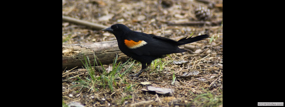 Red-winged Blackbird by Jim Dixon