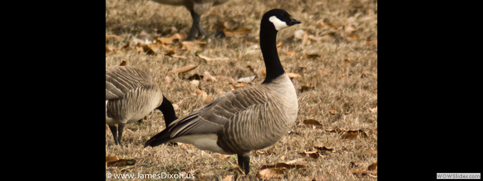 Cackling Goose by Jim Dixon