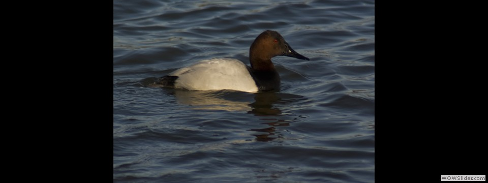 Canvasback by Jim Dixon