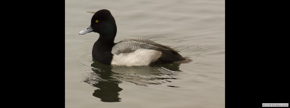 Lesser Scaup by Jim Dixon
