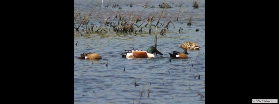 Northern Shoveler by Robert Herron