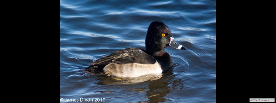 Ring-necked Duck by Jim Dixon